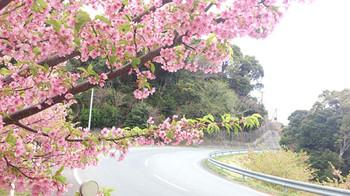 130311sakura1web_2